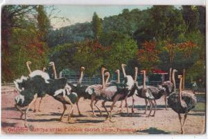 Cawston Ostrich Farm, Pasadena CA