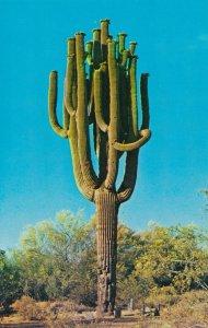 Saguaro Cactus - Largest Cactus in Arizona and Southwest US