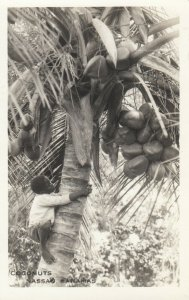 RP: NASSAU ,  Bahamas , 1900-10s ; Coconuts