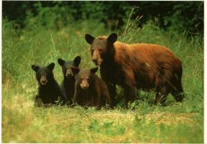 Black Bear in California