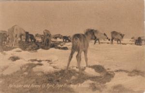 Cape Prince of Wales , Alaska , 1900-10s ; Reindeer & Fawns