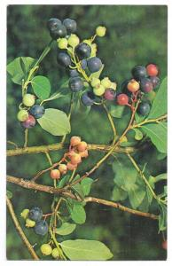 Huckleberries Mountain Wildflower