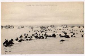 Ponies Swimming to Chincoteague VA