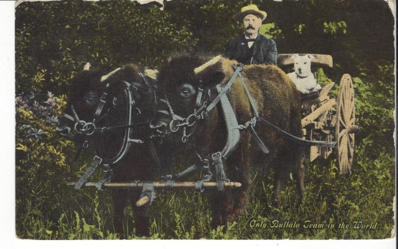 [SOLD] POSTCARD ONLY BUFFALO TEAM IN WORLD PULLING WAGON WITH MAN AND DOG 1913