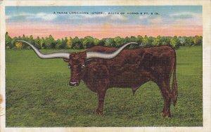 A Texas Longhorn Steer