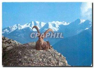 Postcard Modern Steinbock mit Berninagruppe