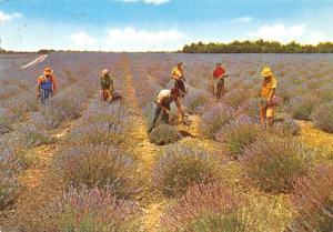 France Sous le Beau Ciel de Provence, Coupeurs de Lavande Field Workers