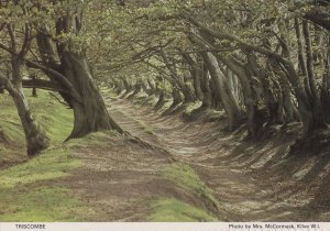 Triscombe Somerset Spooky Twisted Woods Path Postcard