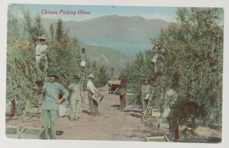 Vintage Mint California RPPC Postcard Chinese Men Picking Olives