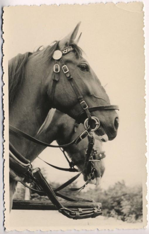Two Bridled Horses Horse Western Bridle Real Photo Postcard D8