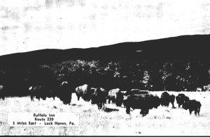 Pennsylvania Lock Haven Buffalo Inn Route 220 Buffalo Herd In Natural Habitat...