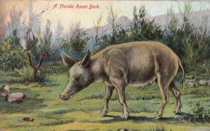 A FLORIDA Razorback hog (pig), 1900-10s