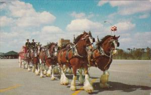 Florida Tampa 8 Horse Clydesdale Team At Busch Gardens 1969