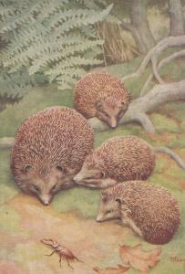 Stag Beetle & Hedgehogs Medici Old Postcard