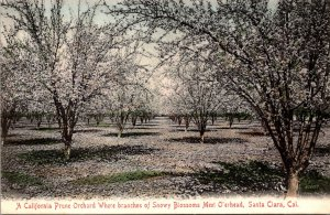 California Santa Clara Prune Orchard Where Branches Of Snowy Blossoms Meet Ov...