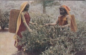 Sri Lanka Ceylon The Tea Bush and Native Tea Pluckers At Work sk0899a
