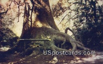 Elephant Tree - MIsc, CA