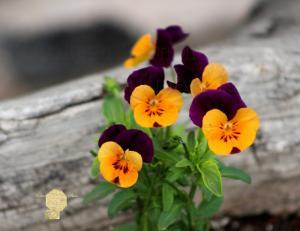 Handmade Postcard Set of 6, Purple And Yellow Pansies Against Rustic Wood