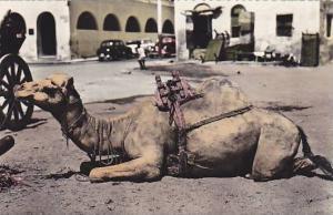 RP ; Camel resting , Crater, Aden , Yeman , 30-40s