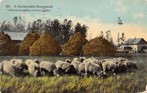 Sheep Post Card Comfortable Homestead 1912