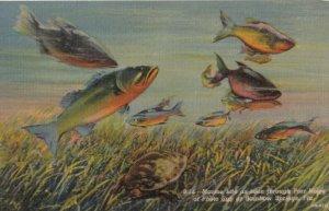 RAINBOW SPRINGS , Florida , 1930-40s ; Fish