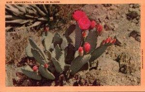 Cactus Beavertail Cactus In Bloom