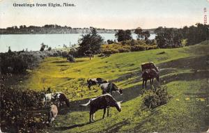 Elgin Minnesota~Cattle in a Hilly Pasture~1910 Postcard