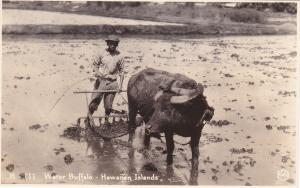 RP, HONOLULU, Hawaii, 1920-1940s; Native man & Water Buffalo