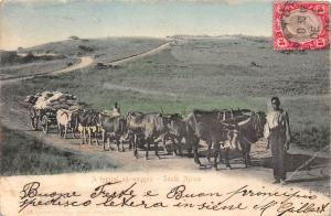 South Africa A typical ox-waggon, oxen bullock, carriage 1905