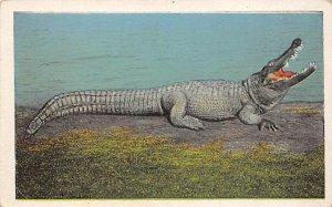 Big Joe, Man Eater Jacksonville, Florida, USA Alligator Unused