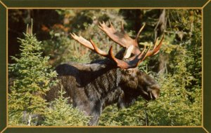 Moose in New Hampshire