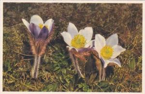 Switzerland Alpine Flowers Mountain Anemone