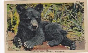 Wisconsin Greetings From Spooner With Bear Cub 1951 Curteich