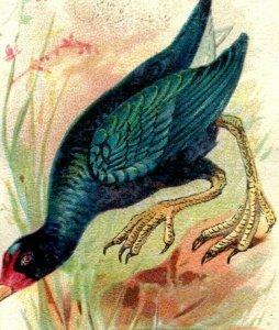1880s-90s  Arm & Hammer Beautiful Birds Series Purple Gallinule Lot Of 3 P222