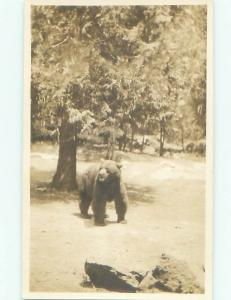 rppc 1920's LARGE BEAR WALKING UNDER TREE AC7889