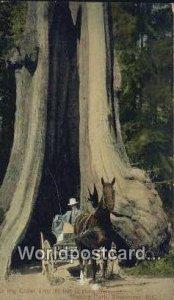 Big Cedar Tree, Stanley Park Vancouver British Columbia, Canada Unused