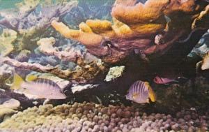 Fish Snappers and Elkhorn Coral Virgin Islands Underwater Scene 1972