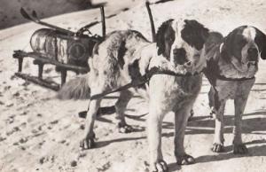 Bernhardinerhunde Swiss St Saint Bernard Dogs Real Photo Old Postcard