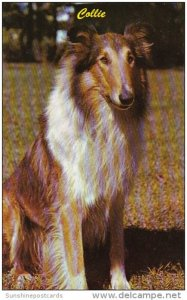Dogs Beautiful Collie