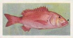 United Tobacco South Africa Vintage Trade Card African Fish 1937 No 8 Red Ste...