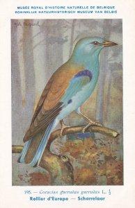 European Roller Coracias Garrulus Bird Antique Rare Postcard