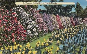 Florida Leesburg An Unusual Wall Of Sweet Peas in Florida 1953