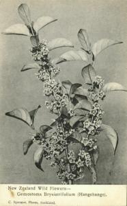 new zealand, Wild Flowers, Gemostoma Brysistrifolium Hangehange (1900s) Postcard