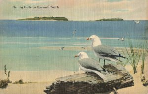 Postcard Herring Gulls On Plymouth Beach New England Museum Of Natural History