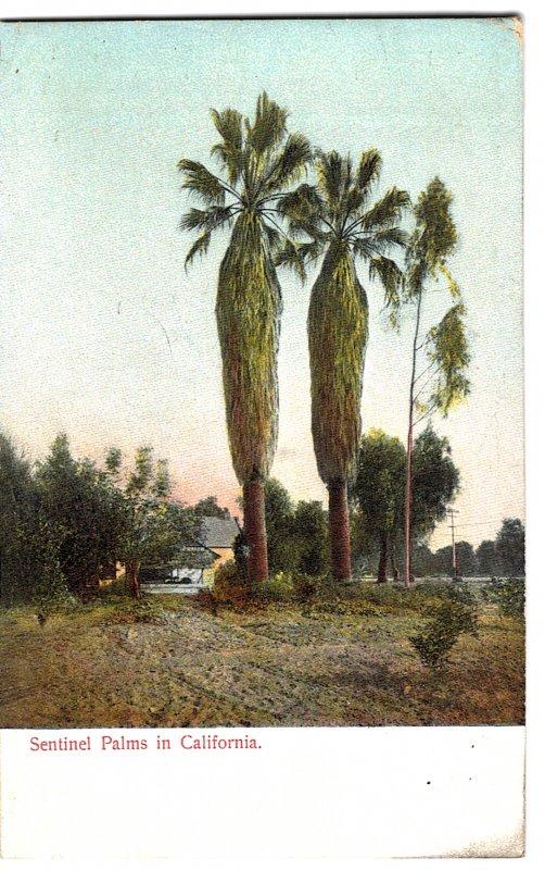 Sentinel Palms in California
