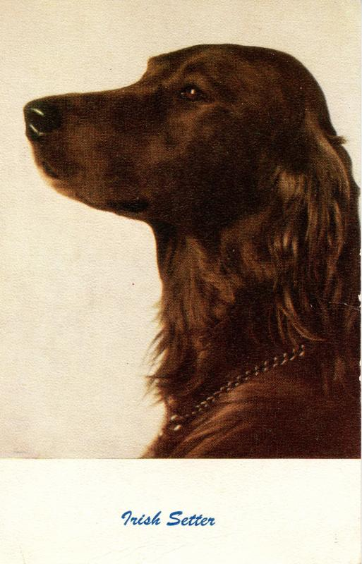 Dog -  Irish Setter
