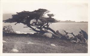 California Carmel By The Sea Coastline With Old Cypress Tree Real Photo