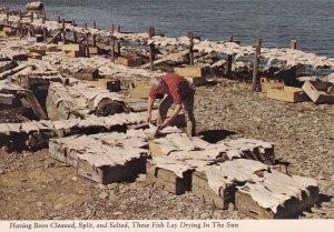 NOVA SCOTIA COAST, 1950-1960s; Drying Salt Fish