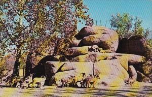 Barbary Sheep Saint Louis Zoological Garden Forest Park Saint Louis Missouri
