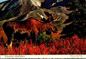 Canada Canadian Bull Moose